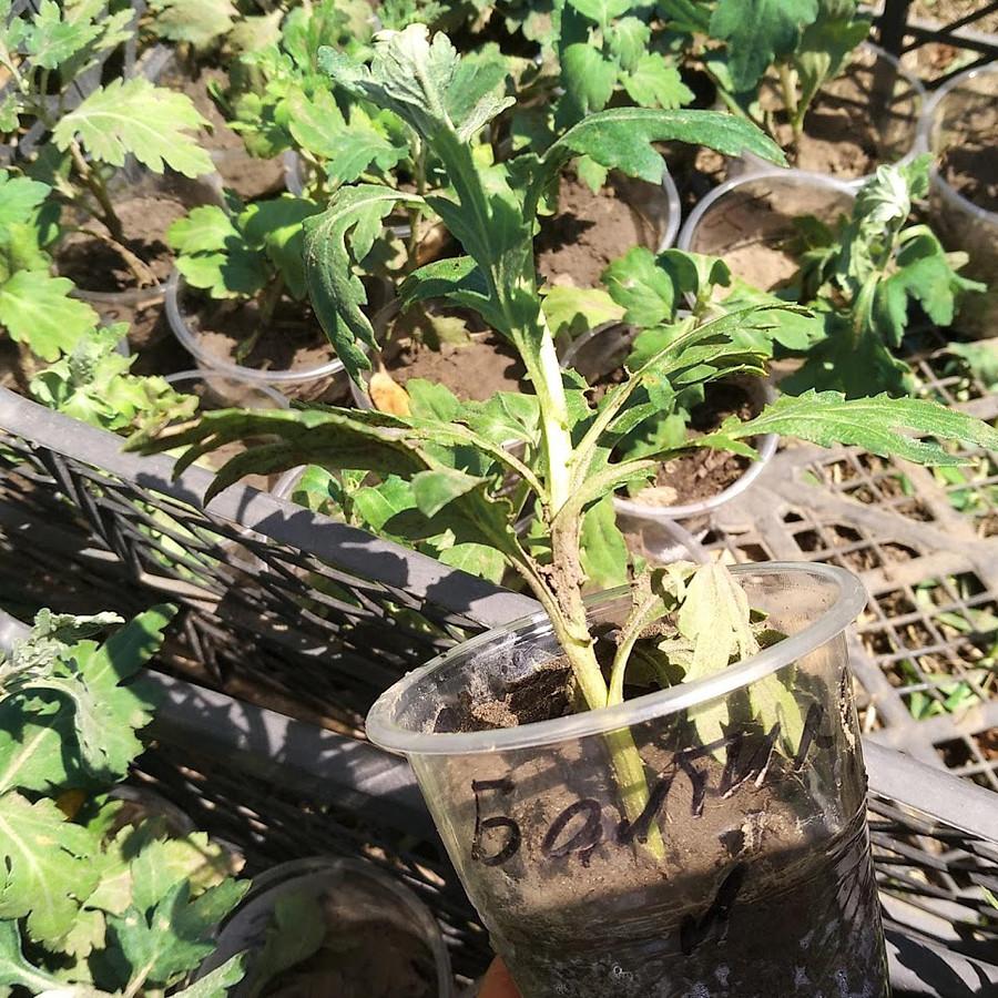 Хризантема черенок, рассада, транспортировка